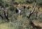 مستوطنون يقطعون أشجار زيتون ويسرقون ثمار أخرى في قرية جالود
