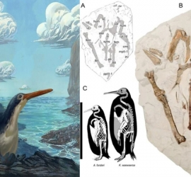 اكتشاف نوع جديد من طيور البطريق عمره 34 مليون سنة
