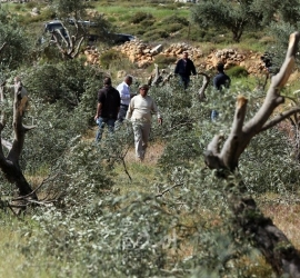 91 اعتداء للمستوطنين على قاطفي الزيتون منذ بدء موسم (2021)