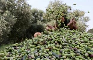 وسط انخفاض نسبة المحصول… كيف ستكون أسعار زيت الزيتون في غزة؟